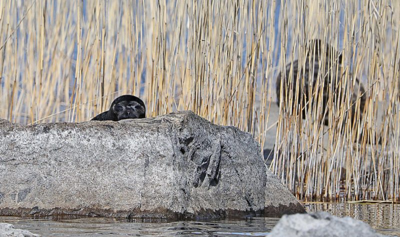 8 Valuable Lessons of Saimaa Ringed Seal in Linnansaari National Park | Live now – dream later travel blog